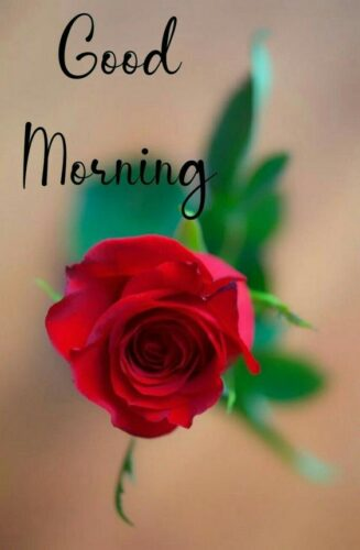 Good Morning wishes Red rose images