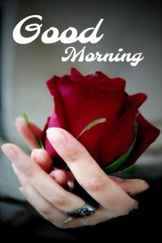 Beautiful Good Morning greeting Rose Images for status