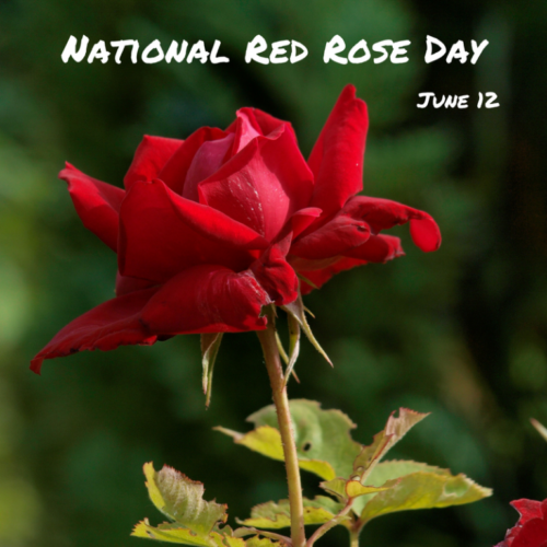 12 June National Red Rose Day images